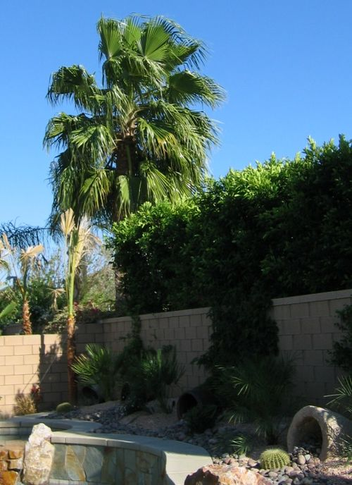 California Palm and Pool
