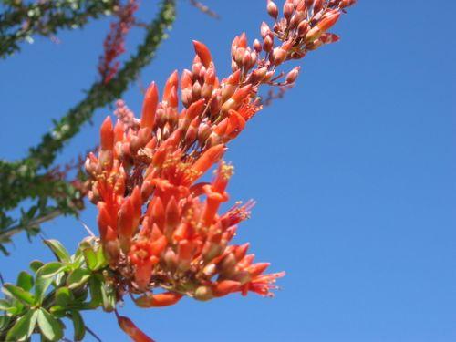 Ocotillo 2 Flower